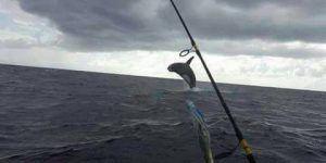 Podría haber orcas en el Caribe